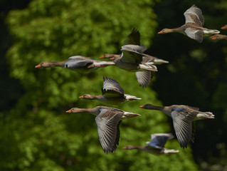 Teamwork Lessons from Geese