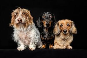 Dachshund trio