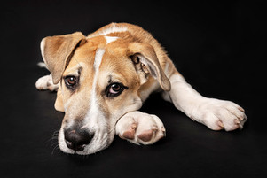 crossbreed puppy