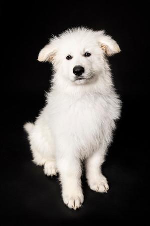 Swiss Shepherd puppy