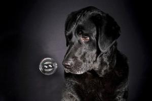 canberra pet photographer labrador bubbl