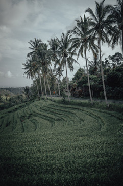 Palmtrees and Ricefields, Bali - 2015