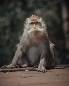 Monkey, Bali - 2015