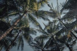 Palmtrees, Bali - 2015