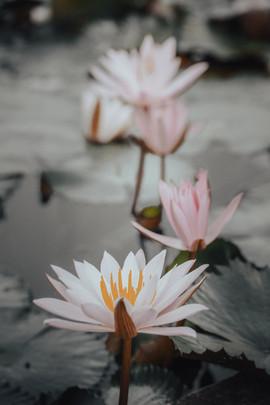Lotus Flowers, Bali - 2015