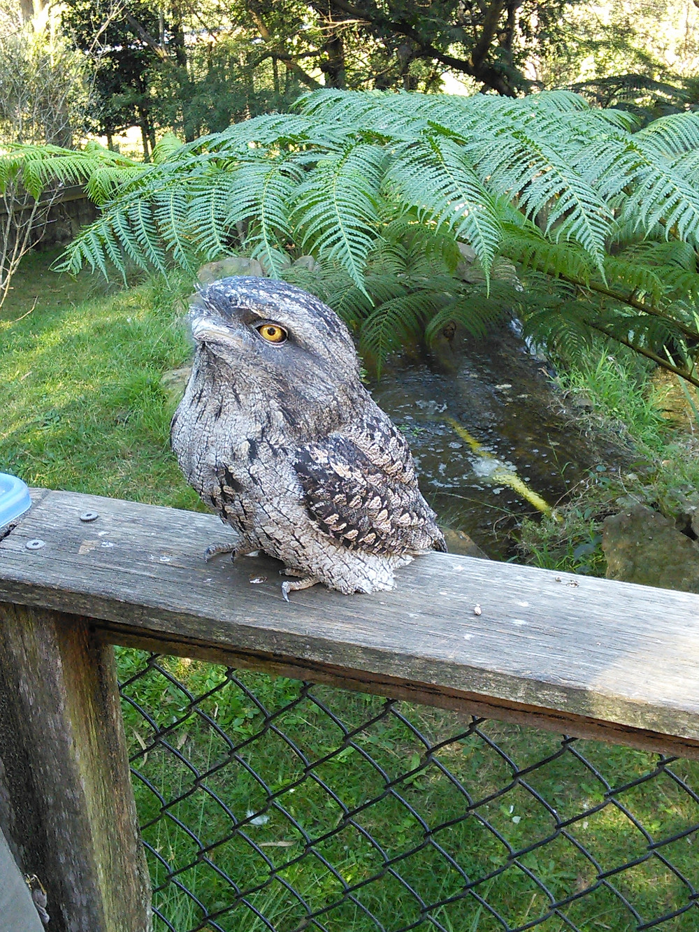 Err... what?! Not an owl, not a frog even, but a tawny frogmouth!