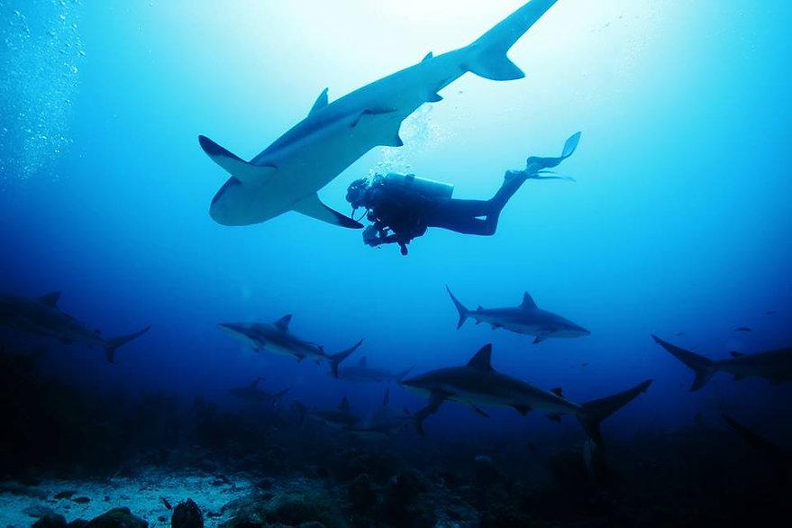 Cara a Cara Point - 10 to 20 Caribbean Grey Reef Sharks