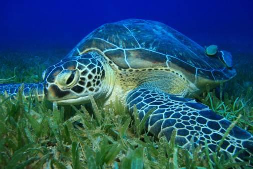 green-sea-turtleeatinggrass
