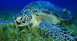 green-sea-turtleeatinggrass.jpg