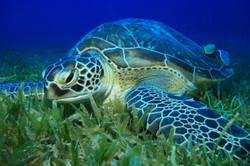 green-sea-turtleeatinggrass