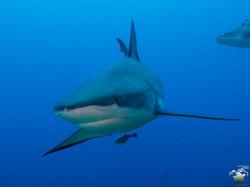Shark Dives