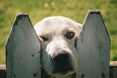 Fence Dog (1 of 1).jpg