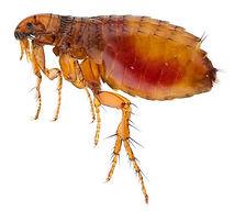 fleas.JPG