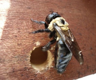 Carpenter Bees.jpg
