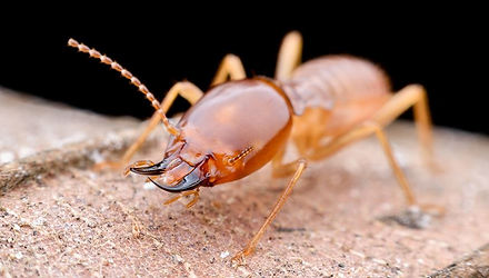 termite solider.JPG