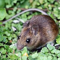 hh-animals-mice-5.jpg