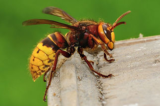 hornet.jpg