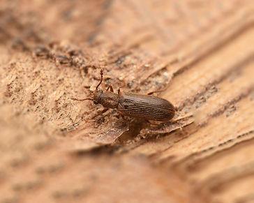 Powder-Post-Beetle_Gallery_08.jpg
