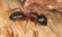 carpenter ant1.jpg