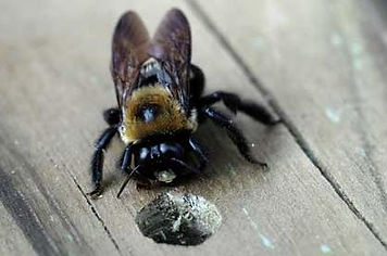 carpenter bee.JPG