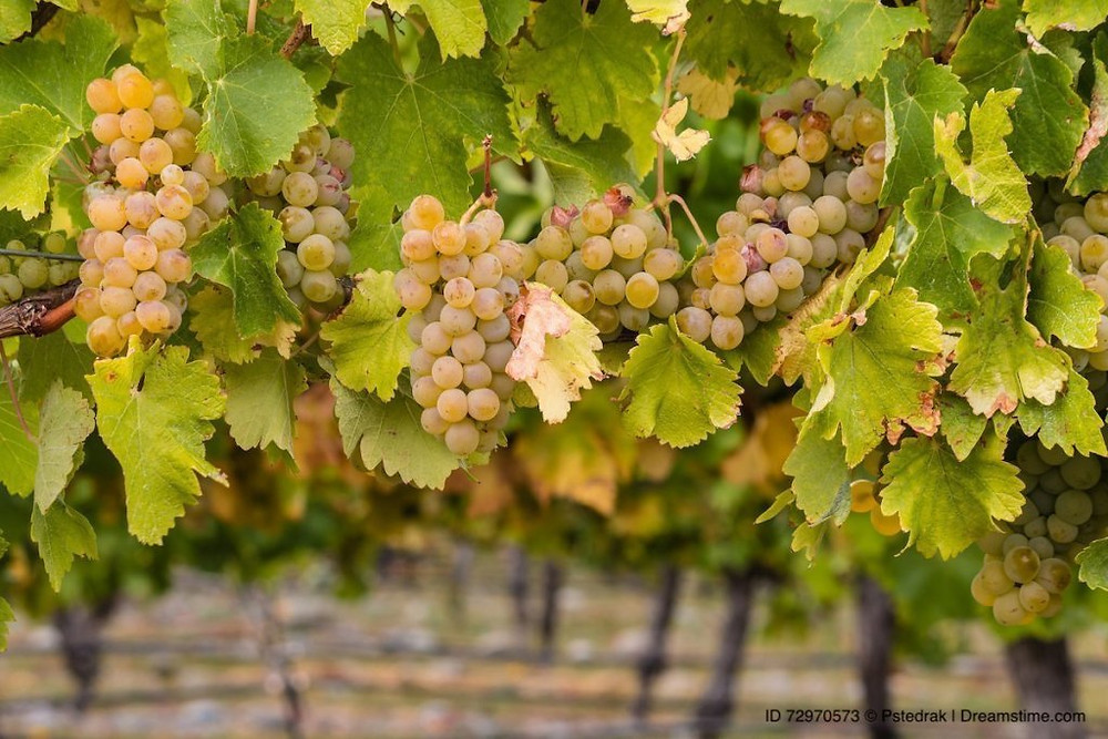 Image of Chardonnay grapes on grapevines.