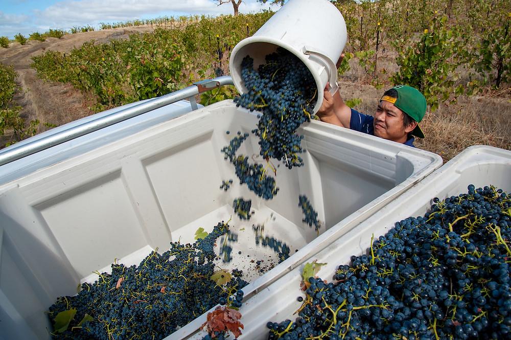 Hand harvesting shiraz grapes. Man tossing bucket full of grapes into large transport bin.