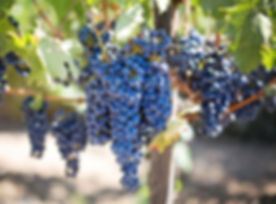 grapes-grapevines.jpg