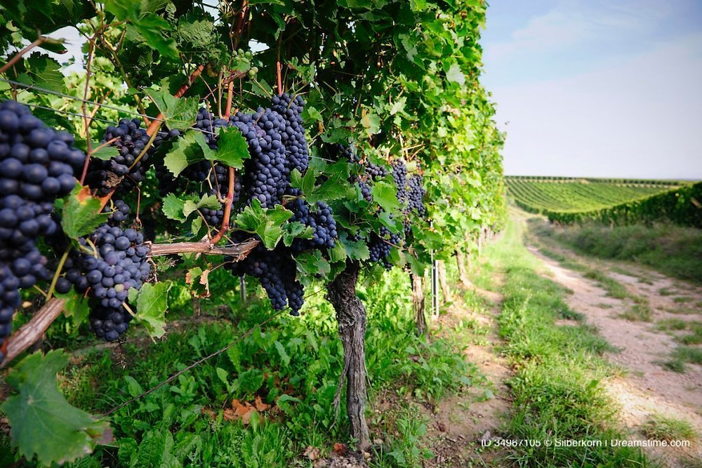 Pinot Noir grapes on vines.