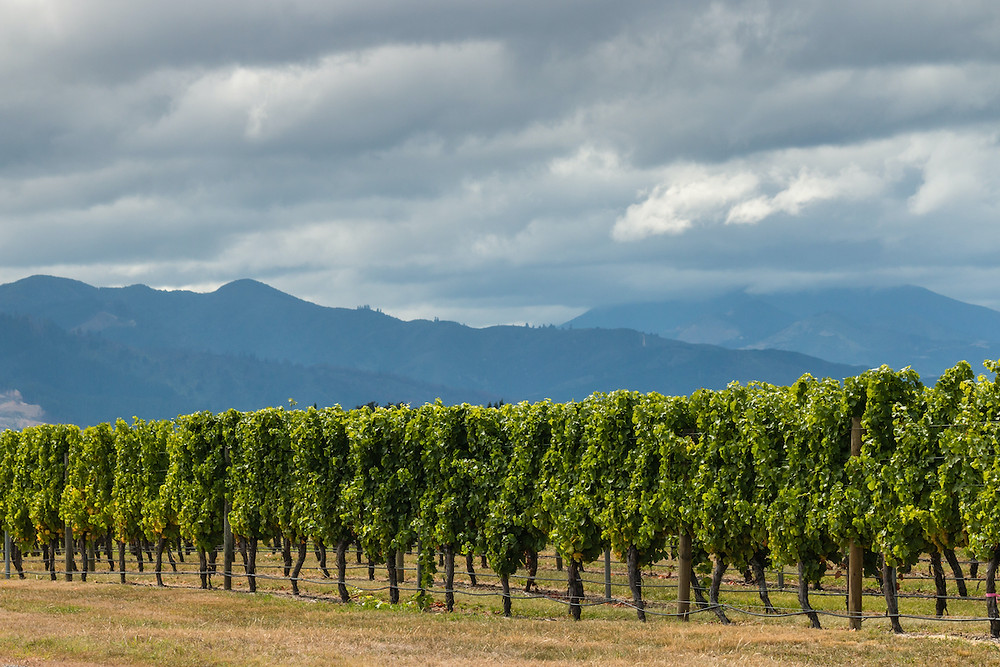 Vineyard in New Zealand with mountains in the background.