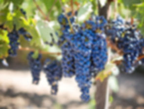 grapes-grapevines_edited.jpg