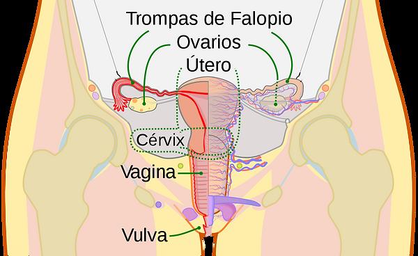 1200px-Scheme_female_reproductive_system