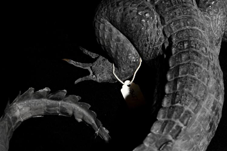 African Crocodile III