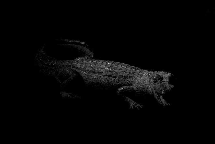 African Crocodile II