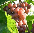 Grappe Pinot Gris.jpg