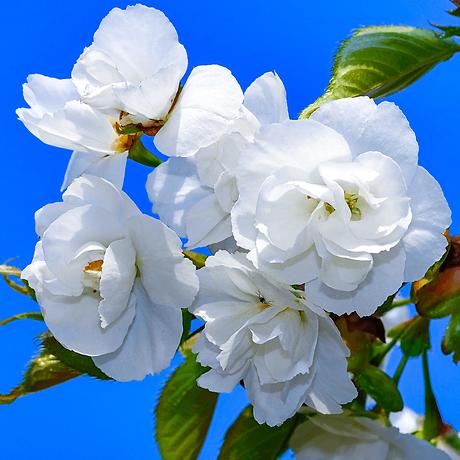 prunus-avium-plena-tree-p3376-35420_imag