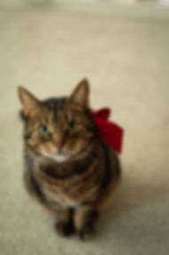 Paylor photography's cat, Indie, with a red bow on