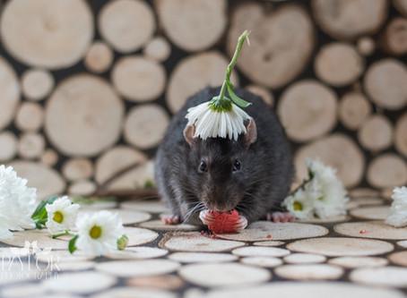 The Cutest Rats!