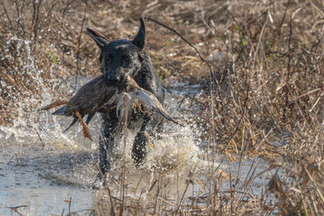 BB Junior Hunt Test Water Duck 2020.jpg