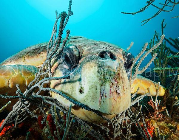 turtle11x14watermark.jpg