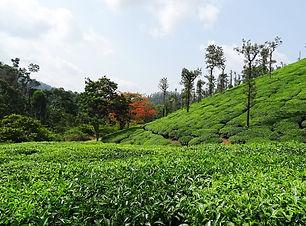 tea-garden-1396463_1280.jpg