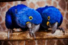 Arara azul resgatadada do tráfico