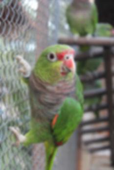 papagaio resgatado do trafico