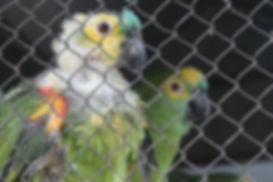 Papagaio de automutilou por stress