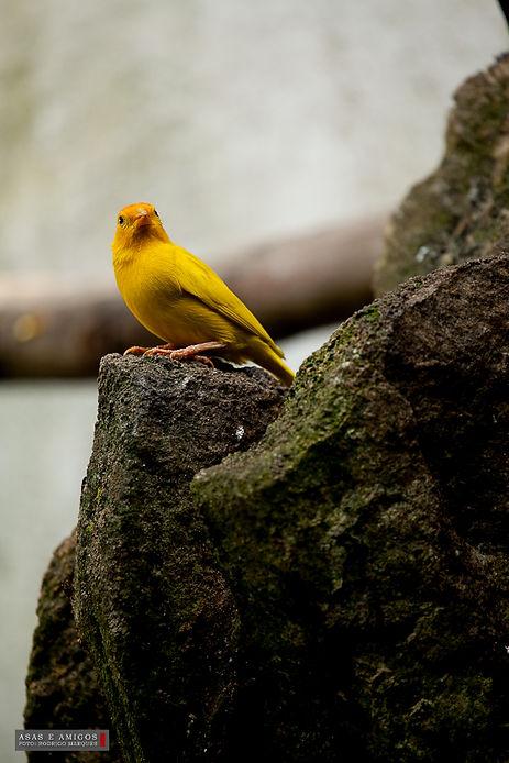 canario amarelo