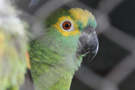 papagaio verdadeiro louro
