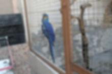 arara azul que foi resgatada do trafico