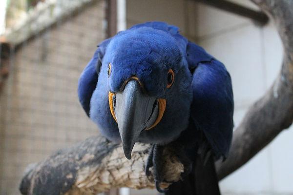 arara azul blue