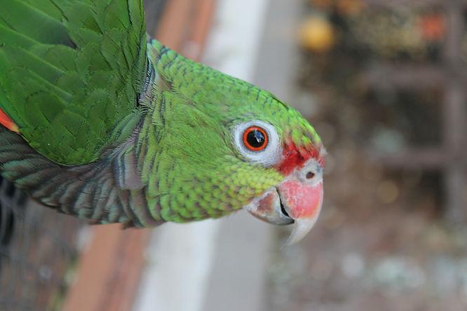 Papagaio resgatado com lesões pelo corpo