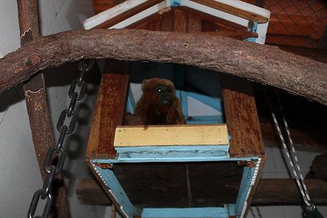 macaco resgatado do trafico