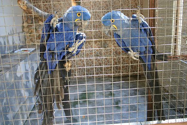 casal de arara azul